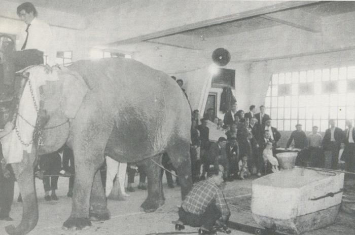 Mery elefantearen eta idi parearen arteko desafioa