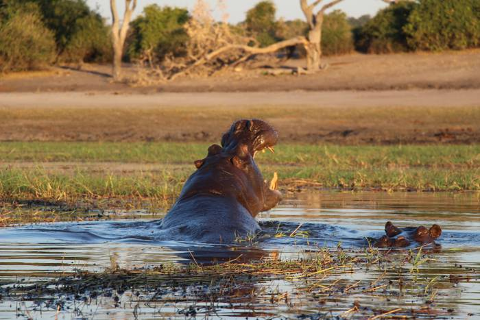 Hippo (Botswana)