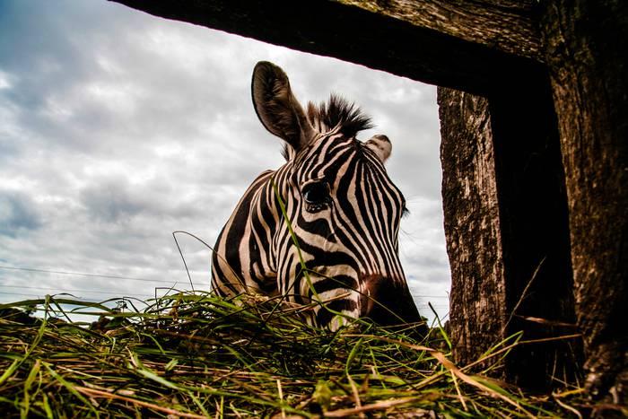 Zebra natura parkean